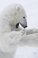 Polar Bear on Hind Legs Fine Art Print
