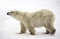 Polar Bear Looking For Food Fine Art Print