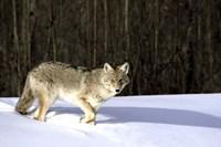 Wolf Running through Deep Snow Fine Art Print