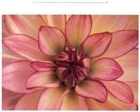 Pink Dahlia Study Fine Art Print