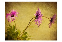 Fuchsia Daisy I Framed Print