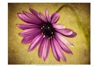 Fuchsia Daisy IV Fine Art Print