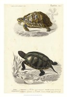 Antique Turtle Duo II Fine Art Print