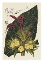 Begonia Varieties II Fine Art Print