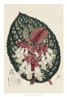 Begonia Varieties III Fine Art Print