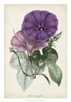 Plum Morning Glory Fine Art Print