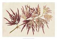 Japanese Maple Leaves V Fine Art Print