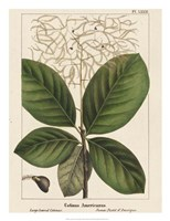 Large Leaved Cotinus Fine Art Print