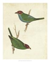 Peruvian Tanager II Framed Print