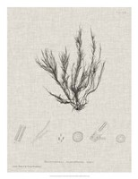 Charcoal & Linen Seaweed VI Fine Art Print