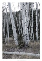 Pale Bark II Framed Print