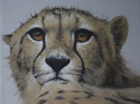 Cheetah Study Fine Art Print
