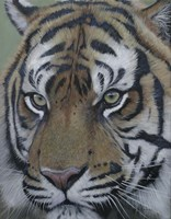 Sumatra Tiger Face Fine Art Print