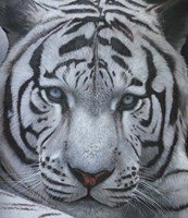 White Tiger Jackson Hole Fine Art Print