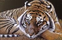 Sumatran Tiger Resting Fine Art Print
