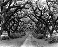 Path In The Oaks #2, Louisiana Fine Art Print