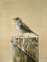 Savannah Sparrow Fine Art Print