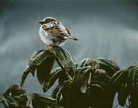 Sparrow On Rhododendron Fine Art Print