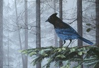 Stellers Jay In Fog Fine Art Print
