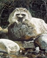 Low Water - Raccoon Fine Art Print