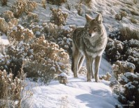 Winter Sage- Coyote Fine Art Print