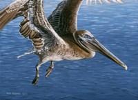 Flying Pelican Fine Art Print