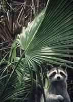 Everglades Raccoon Fine Art Print
