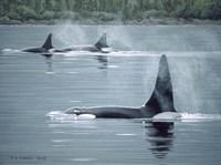 Orcas Framed Print