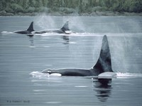 Orcas Fine Art Print