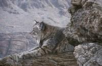 Resting Bobcat Fine Art Print