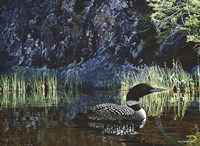 Summer - Loon Fine Art Print