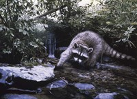 Searching The Stream- Racoon Fine Art Print