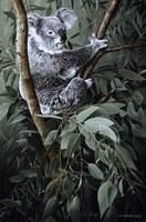 Eucalyptus Climber Fine Art Print