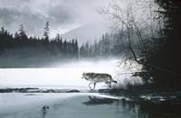 Spring Mist - Gray Wolf Fine Art Print