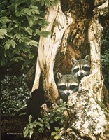 Raccoon Pair Fine Art Print