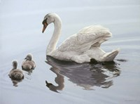Mute Swan And Two Cygnets Fine Art Print