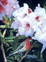 Housefinch And Rhododendron Fine Art Print
