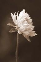 Sepia Flower I Fine Art Print