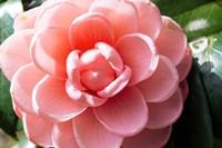 Coral Bloom Fine Art Print