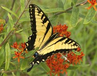 Black Yellow Butterfly II Fine Art Print