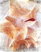 Conch I Fine Art Print