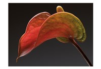 Anthurium 3 Fine Art Print