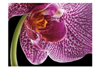 Purple Orchid 2 Fine Art Print