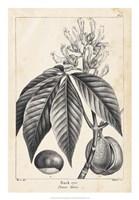 Vintage Buckeye Tree Fine Art Print