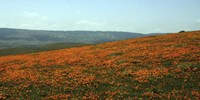 Californian Poppy Field Fine Art Print