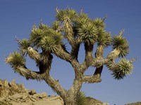 Joshua Tree Fine Art Print