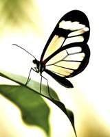 Transparent Butterfly Fine Art Print