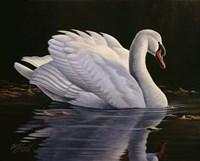 Reflection - Mute Swan Fine Art Print