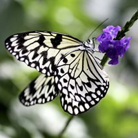 BW Butterly Purple Flower Color Fine Art Print