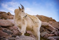 Billy Goat Scruff Fine Art Print